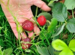 ✅ о клубнике мармелада: описание сорта, агротехника посадки и выращивания - tehnomir32.ru