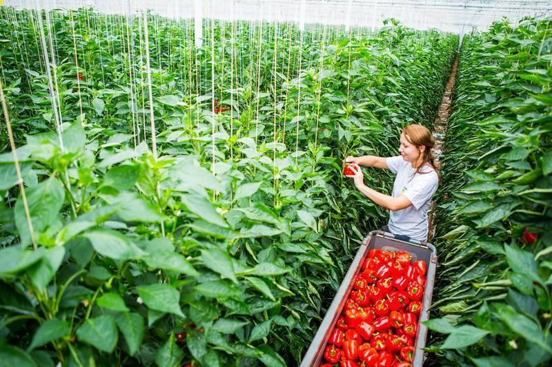Схема посадки перца в теплице: как правильно подготовить рассаду и когда сажать? русский фермер
