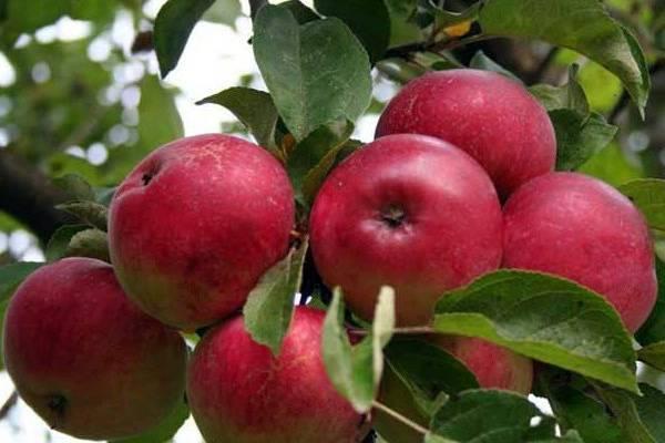 Сорт яблони баяна