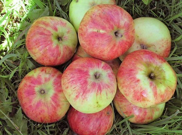 Штрифель — лучший сорт осенних яблок