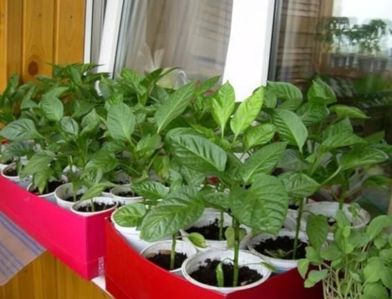 Болгарский сладкий перец на подоконнике: выращивание, уход