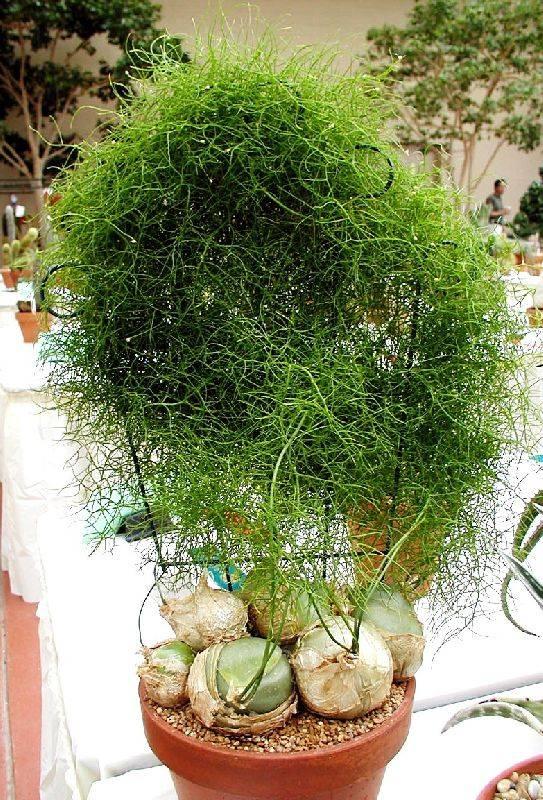 Названия и фото популярных ампельных комнатных растений