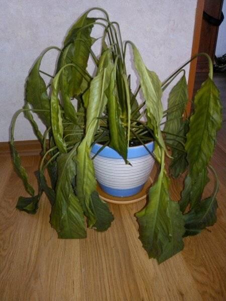 Спатифиллум – обрезка листьев, цветоноса в домашних условиях, как омолодить цветок женское счастье