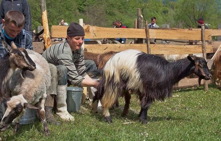Как подготовить козу первокотку к доению