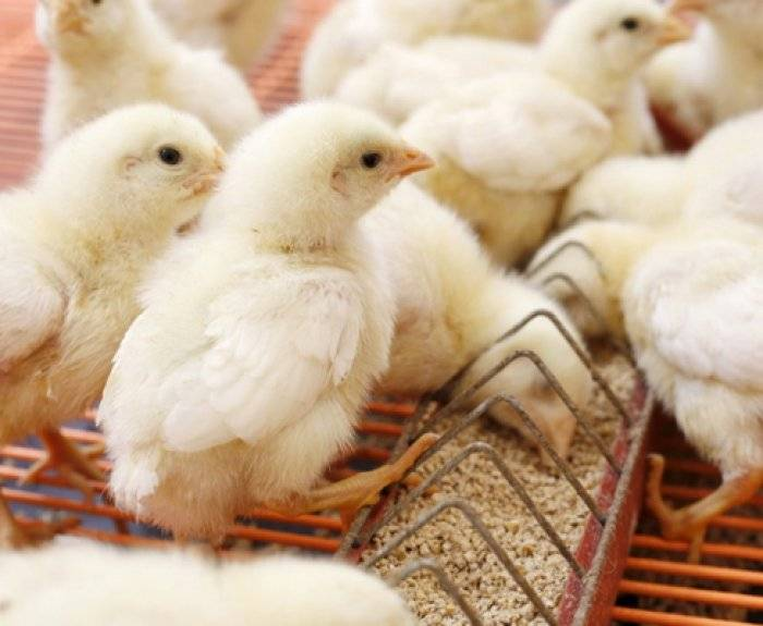 Как сделать кормушку для цыплят своими руками?