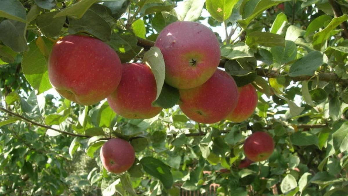 Яблоня мартовское — описание сорта, фото, отзывы