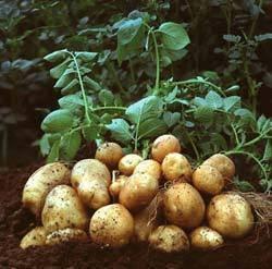 Болезни картофеля: характерные симптомы и методы лечения