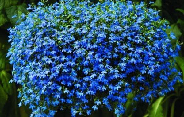 Лобелия ампельная (37 фото): описание растения, выращивание из семян, правильный уход, сорта «сапфир» и «маркиза», «красный каскад» и «ниагара», «розамунда» и «фонтан», отзывы