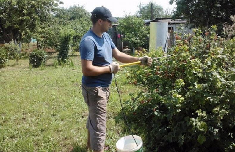 Обработка смородины осенью от болезней и вредителей - о цветах