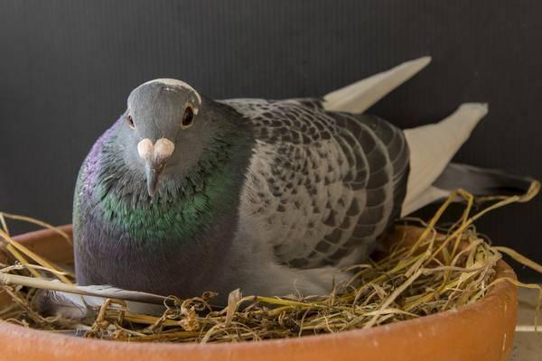 Голуби, как они размножаются, где обитают и их процесс спаривания