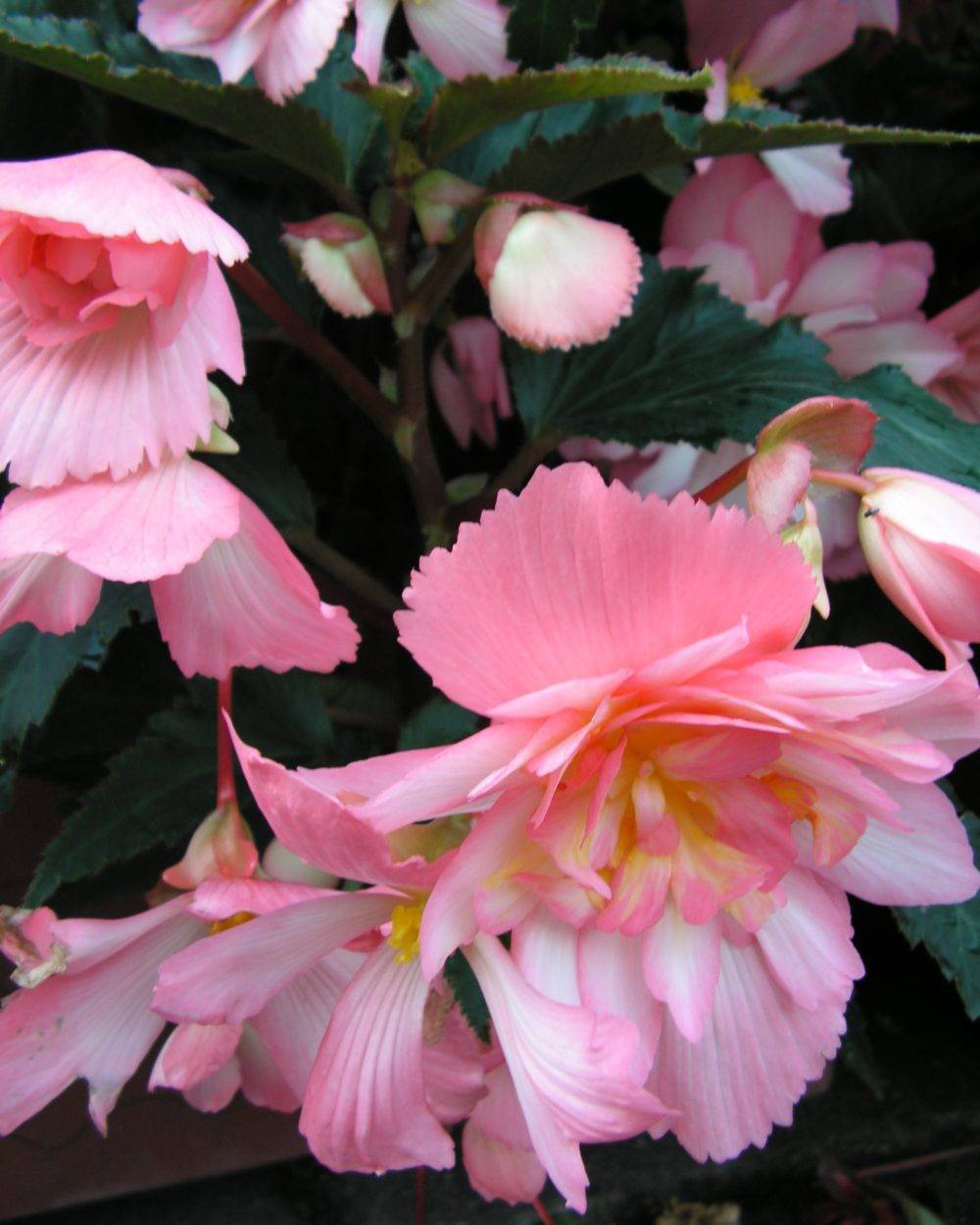 Посадка и уход за бегонией ампельной в домашних условиях: выращивание клубневого растения в открытом грунте, как грамотно заботиться о цветке, как выглядит на фото? русский фермер