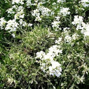 Арабис (резуха): посадка и уход в открытом грунте, выращивание из семян, виды и сорта с фото