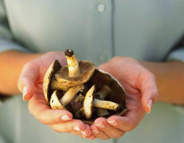 Как отличить грибы козлята от ложных и их описание (+25 фото)