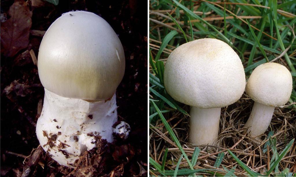 Отличия шампиньона от бледной поганки: сходства и различия