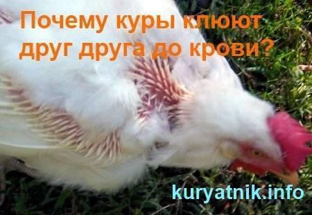 Почему куры клюют друг друга до крови