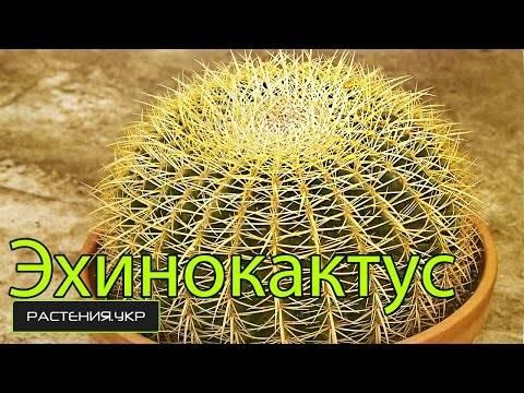Эхинокактус грузони