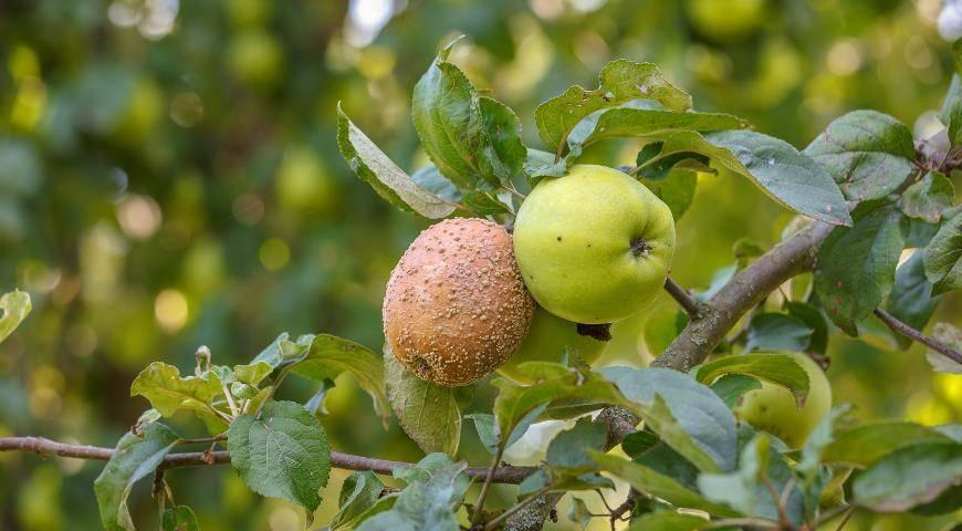 Сохнут листья у яблони, что делать?