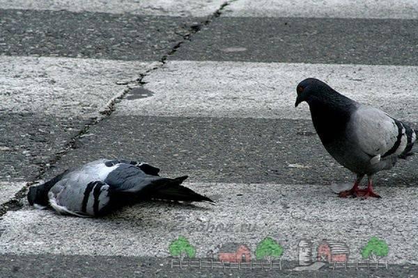Применение ласоты для голубей - мыдачники