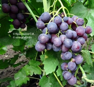 Характеристика винограда рошфор