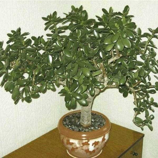 Денежное дерево: уход в домашних условиях, цветение и размножение, фото - sadovnikam.ru