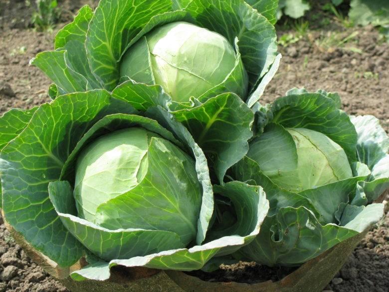 Капуста чудо на рекорд f1: описание сорта, отзывы и урожайность