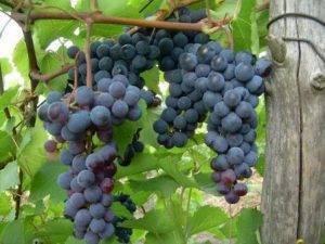 Описание винограда сорта Левокумский