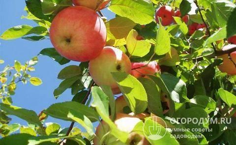 Описание сорта яблони слава приморья: фото яблок, важные характеристики, урожайность с дерева