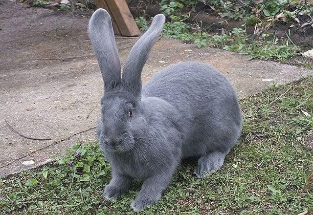 Кролики немецкой породы ризен: описание, продуктивность, разведение