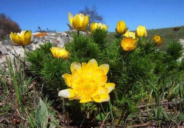 Адонис: фото и описание. правила посадки, выращивания, ухода