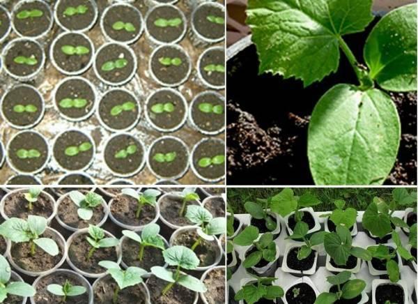 Как вырастить дома огуречную рассаду для теплицы и открытого грунта