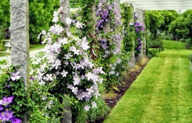 Пересадка садовых клематисов на новое место: сроки, пошаговая инструкция