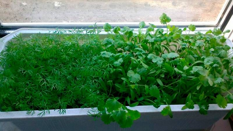 Как вырастить петрушку на подоконнике - сорта, в чем выращивать, особенности ухода