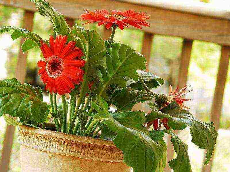 Как вырастить герберу из семян - theflowers