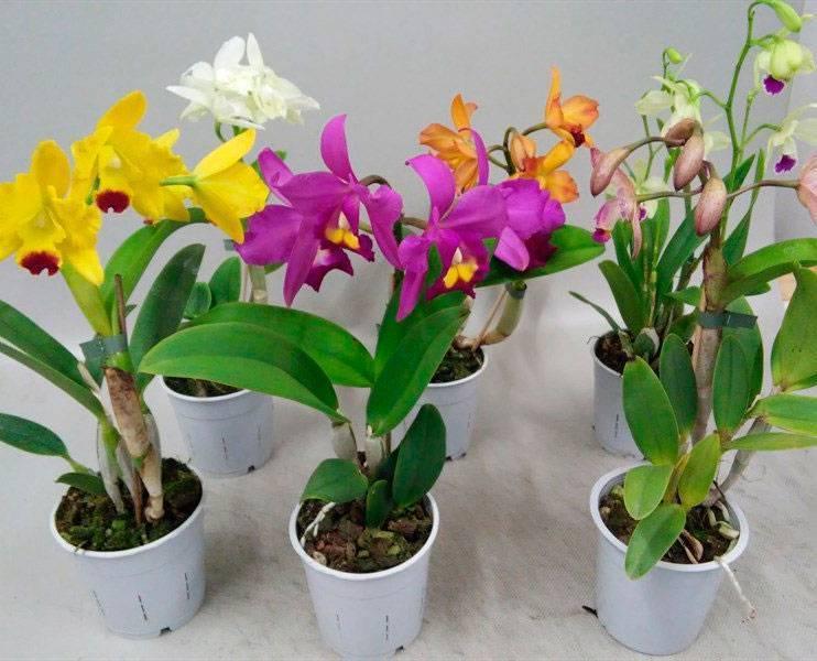 Выращивание орхидеи каттлея дома: как посадить, размножение, цветение