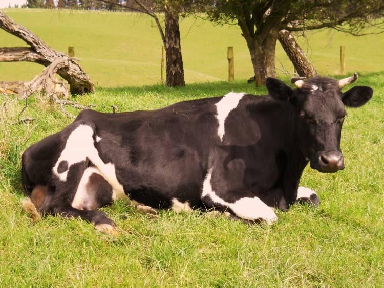 Болезни коров и быков: симптомы и лечение
