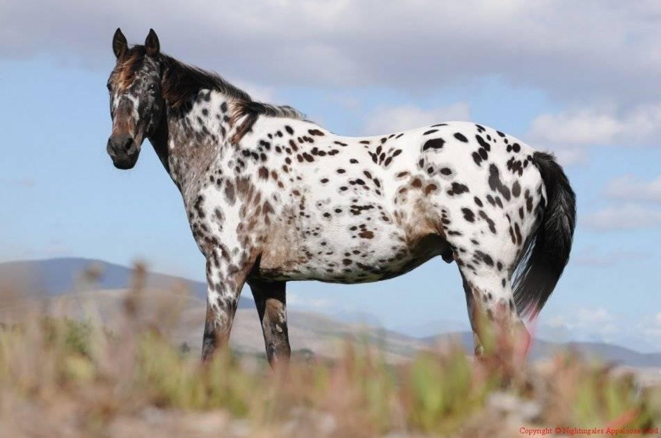 История лошади аппалуза