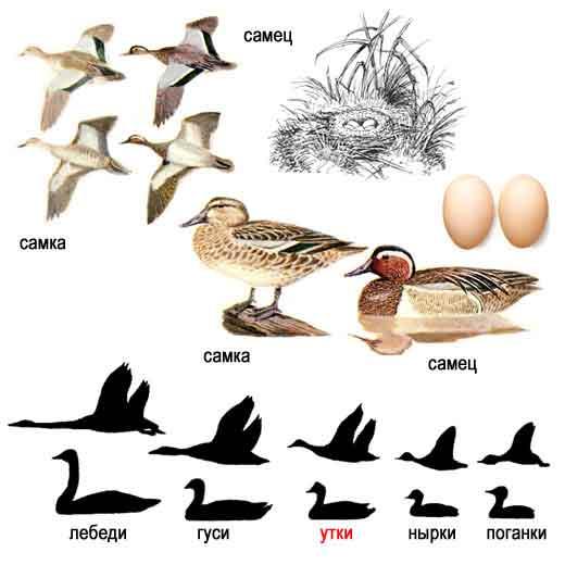 Породы диких уток в природе и их особенности: что едят, чем можно кормить и чем нельзя