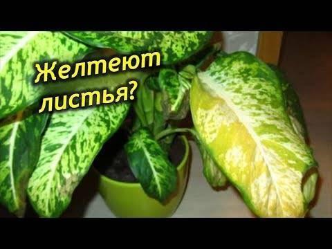 Болезни диффенбахии: почему желтеют листья и что делать