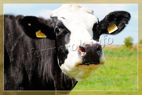 Ярославская порода коров. описание, отзывы, продуктивность с фото и видео