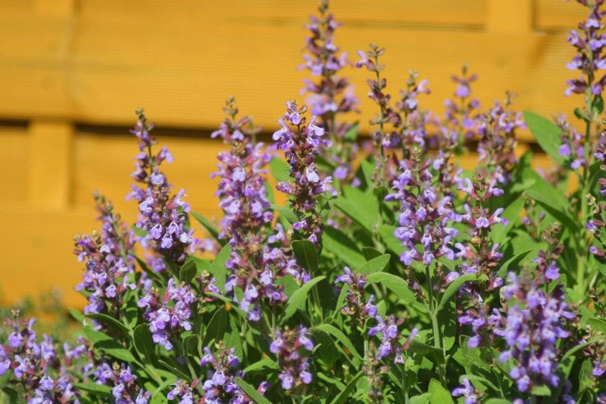 Фото цветов популярных сортов Сальвии — посев красной Сальвии