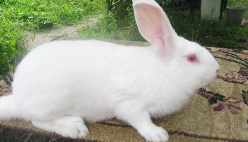 ✅ кролик белый паннон: характеристика и описание породы, фото, особенности содержания - tehnoyug.com