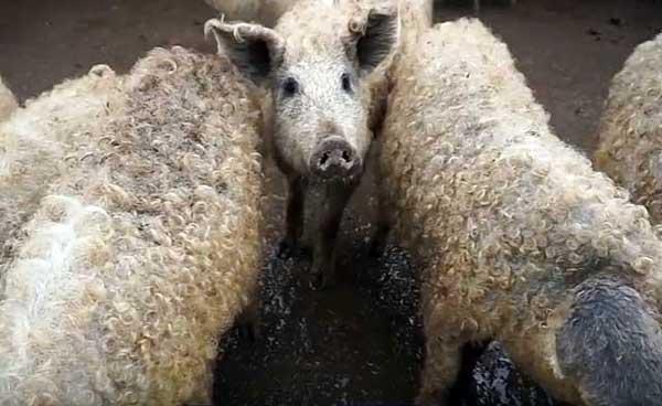 Порода свиней венгерская мангалица: особенности разведения и выращивания