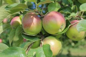 Яблоня мельба: описание и характеристики сорта, фото плодов и отзывы садоводов, а также рекомендации по уходу и выбору соседей-опылителей