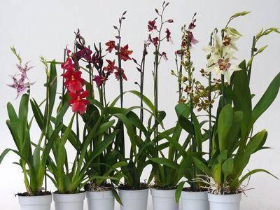 Орхидея камбрия: уход в домашних условиях, пересадка и размножение