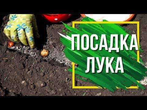 Лук севок, посадка и уход в открытом грунте