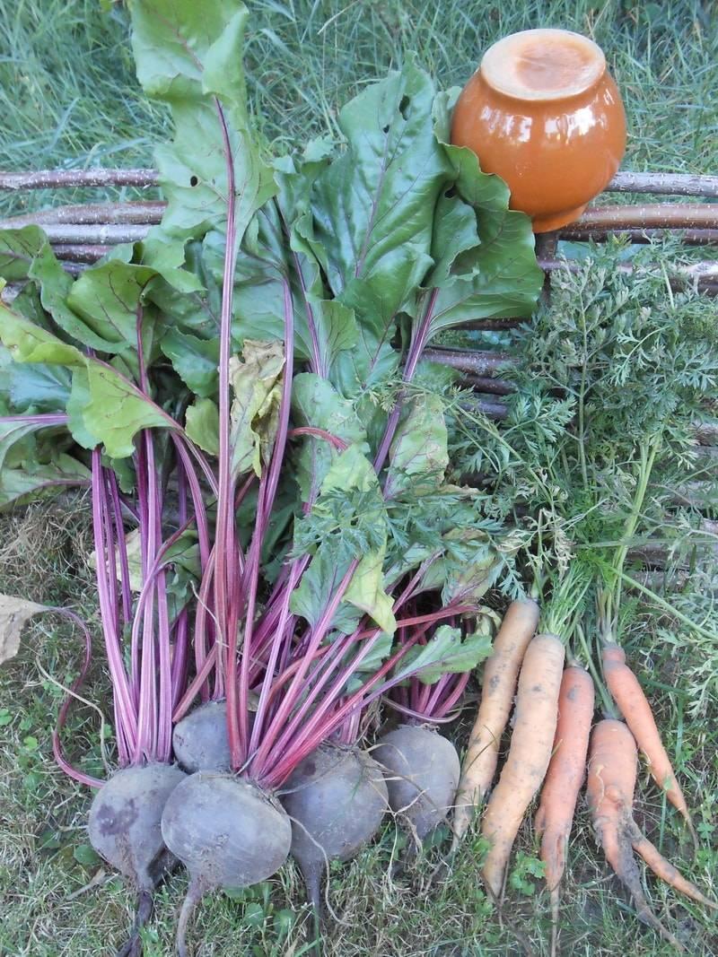 Чем подкормить морковь в открытом грунте и как правильно вносить удобрения