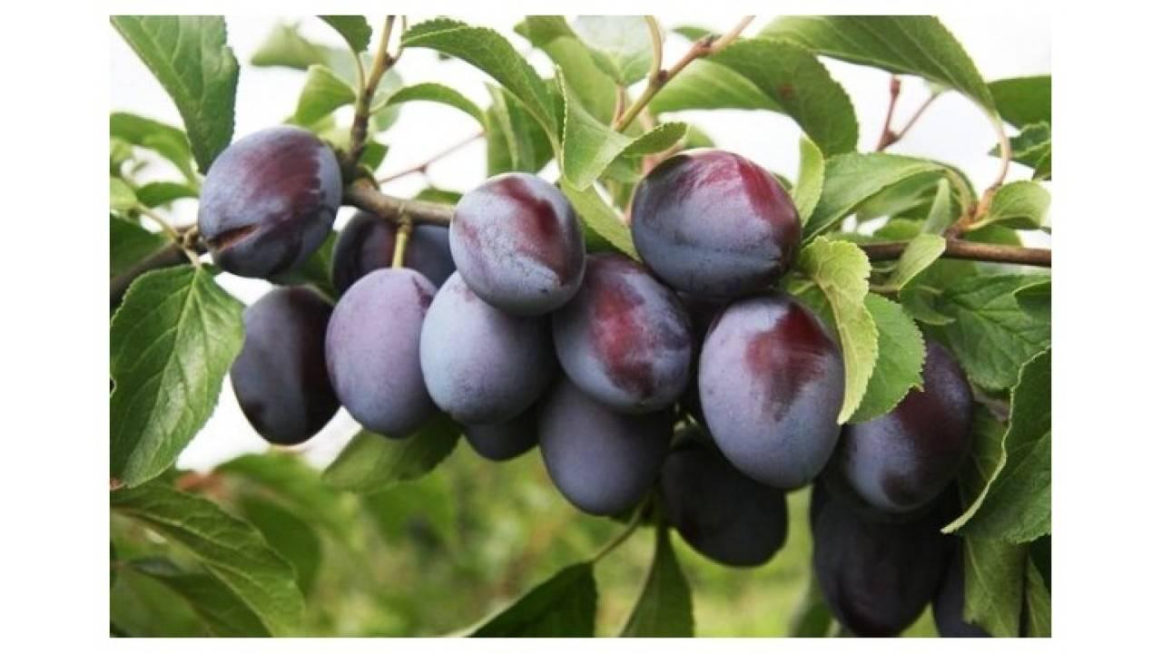 Садовое лакомство — слива сорта «богатырская»