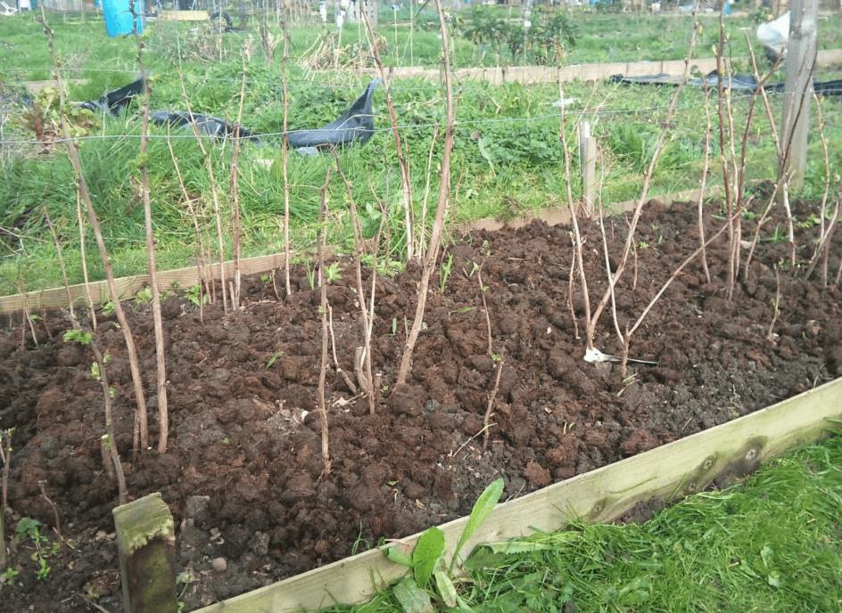 Посадка малины осенью: пошаговое руководство когда и как правильно посадить саженцы в открытый грунт, обработка кустов и уход, в какие сроки сажать?