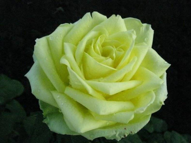 Парковая роза: описание, правила ухода, посадка и размножение, фото - sadovnikam.ru