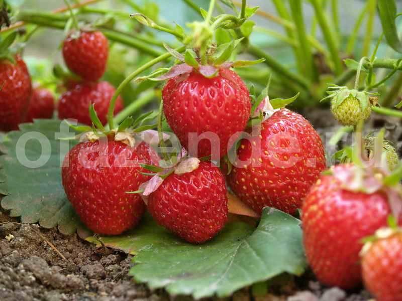 Чем подкормить клубнику весной. рассказываем, чем лучше подкармливать клубнику (садовую землянику), чтобы получить отличный урожай.
